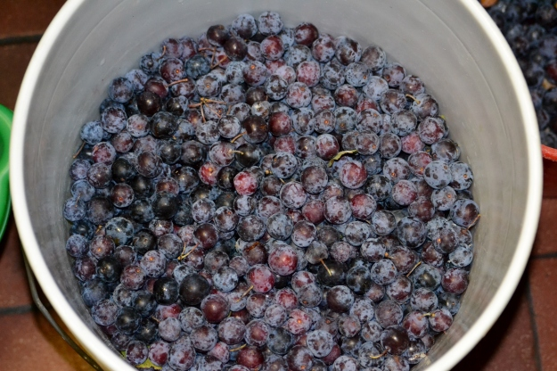 Beach Plum Harvest